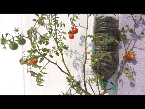 Upside Down Tomato Planter/How To Grow Tomato/Plastic Bottles Vegetable Garden