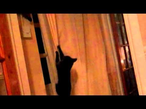 Crazy Cat Climbs Curtains