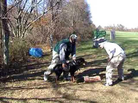 (Jake) Rottweiler Protection Schutzhund