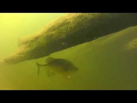 Australia's Rivers: Murray Cod & Golden Perch Underwater