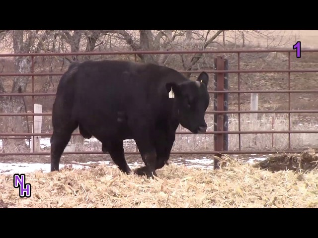 New Haven Angus Lot 1