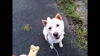 紀州犬こころとお散歩❤ 2013.9 撮影 紀州犬4頭&柴犬&プードルのブログ...