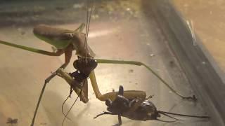 Praying mantis catching a cricket!