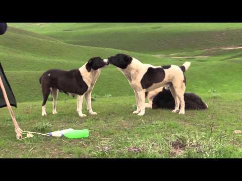The real working Tajik shepherd dogs