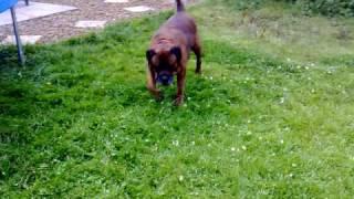 Boxweiler / Rottweiler Cross Boxer