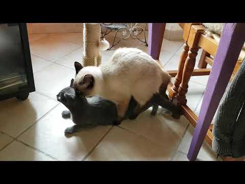 Reproduction Chez Le Chat
