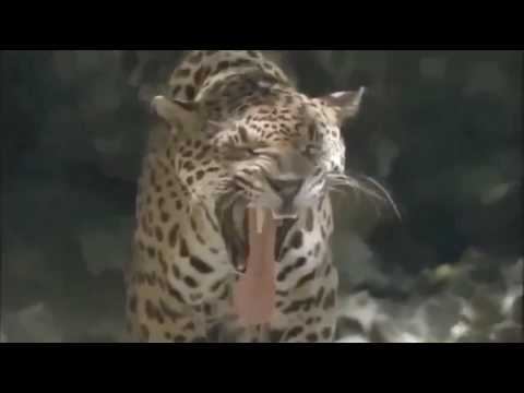 Nat Geo Wild - Tigers Predators Of The Deep - National Geographic Animals