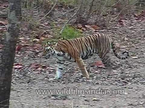 tigers have striped skin not just striped fur youtube