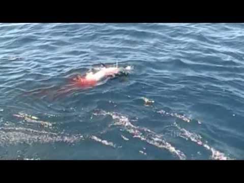 Giant Mako Shark Attacks Swordfish Boobytrapfishingteam.com