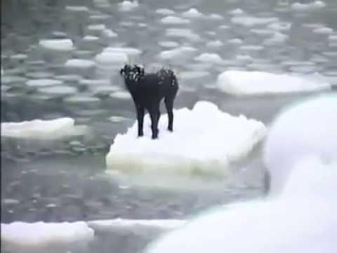 Sauvetage émouvant d'un chien pris sur un morceau de glace en Russie