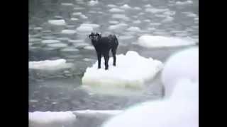 流氷に取り残されたワンコを救え!海の男たちによる決死の救出劇