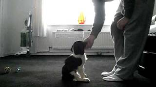 Springer Spaniel Pup  Training Part 2