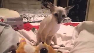 ориентальные котята, 1.5 месяца