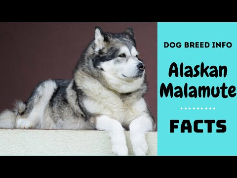 Alaskan Malamute dog breed. All breed characteristics and facts about Alaskan Malamute