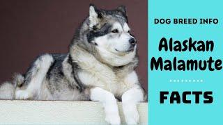 Alaskan Malamute dog breed. All breed characteristics and facts about Alaskan Malamute