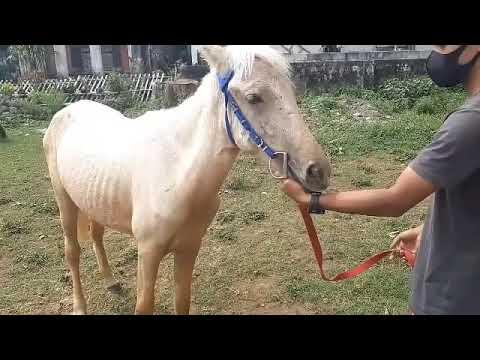 Kuda Sandel CANTIK Dan Gagah COCOK UNTUK Para Pemula
