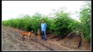 Moringa/Suragva or Drumstick Farm at Aaya Village-Gujrat.....