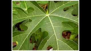 Papaya Leaf Paste Concoction – Increases Platelet Count | Naattu Maruthuvam – Sun tv Show
