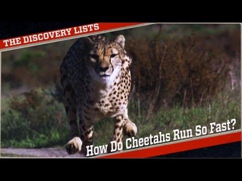 How Fast Do Cheetahs Run Why Do Cheetahs...