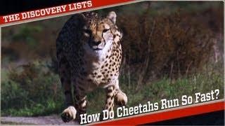 Why Do Cheetahs Run So Fast?