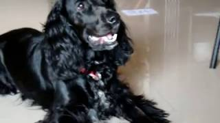 Bailey, A Hyperactive Cocker Spaniel - 15 March 2011