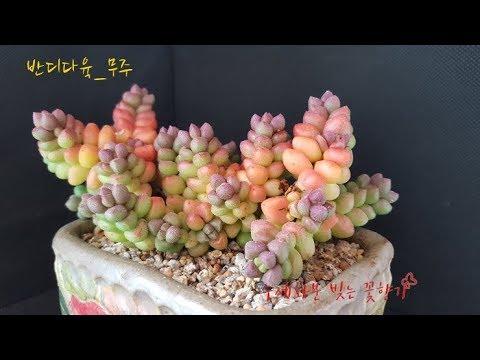 무주반디다육;  Muju Bandy succulent store, KOREA