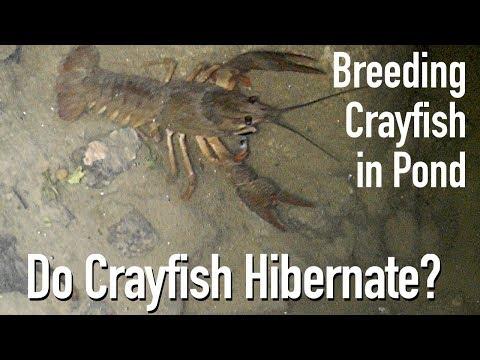 Feeding Crayfish/Crawfish In My Pond