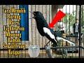 Cara Memilih Burung Kacer Fighter Non Mbagong  Mp3 - Mp4 Download