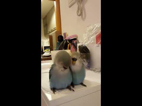 Baby love birds singing