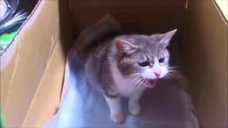 陣痛の痛みで鳴き続ける猫 This cat suffers from labor pains thumbnail