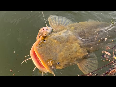 Suspend Fishing For Blue And Flathead Catfish | Tackle And Rigging Tips
