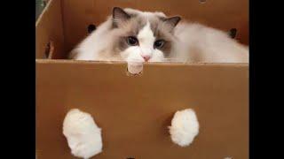 랙돌고양이 루시와 깃털장난감으로 놀아요