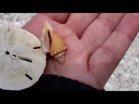Virtual SHELLING! SAND DOLLARS On Cayo Costa Island   Florida Seashells #Sanibel #Shelling