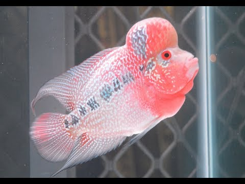How to Grow Flowerhorn Fish Hump, Head, Kok - YouTube