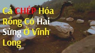 Phát hiện cá chép hóa rồng có 2 sừng ở Vĩnh Long