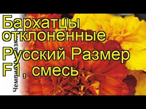 Бархатцы отклоненные. Краткий обзор, описание характеристик, где купить семена tagetes patula