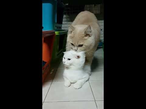 breeding cats#แมวผสมพันธุ์#Scottish fold#Cat
