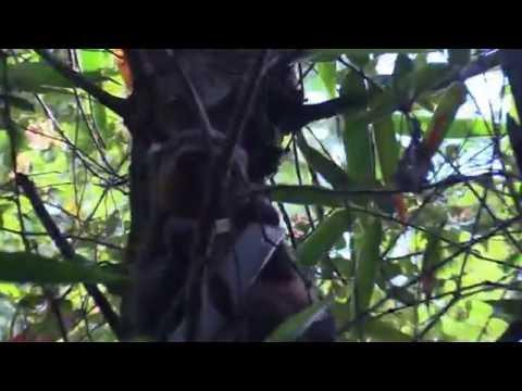 Golden bamboo lemur dines