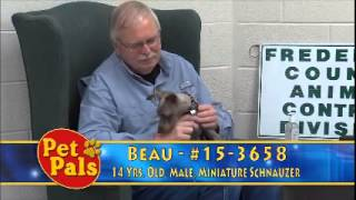 Meet Beau A Schnauzer Miniature Currently Available For Adoption At Petango.com! 5/18/2015 9:36:32