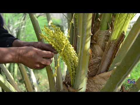 Date Palm Pollination- Easy And Effective Method
