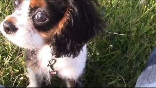 Cavalier King Charles Spaniel 15 Weeks Old Puppy. Walkies And Play.