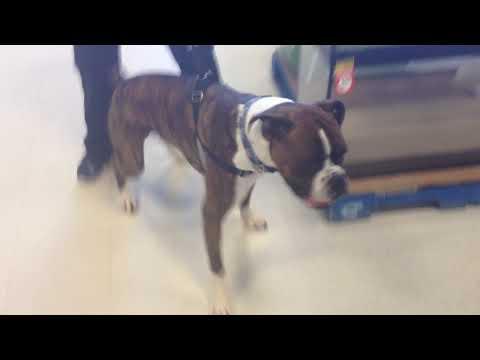 Boxer dogs visit Pet Smart! 🐶