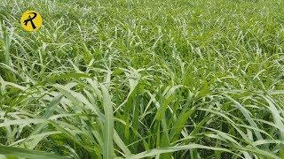 কিভাবে নেপিয়ার ঘাস চাষ করবেন, Napier Grass Cultivation in Bangladesh