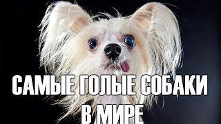 Самые голые собаки китайская хохлатая и ксолоитцкуинтли