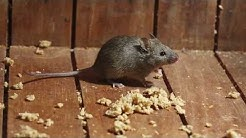 6 Tips for Keeping Mice and Rats out of Your Home