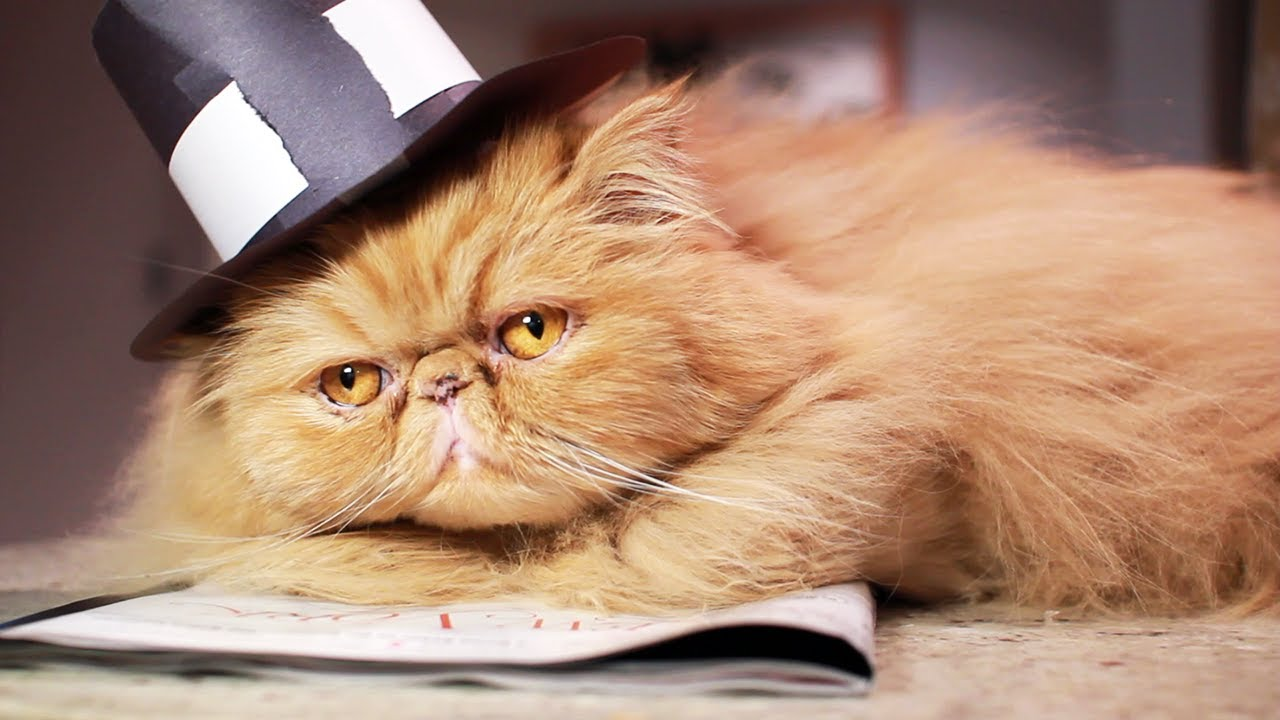 trying to put a pilgrim hat on a cat youtube