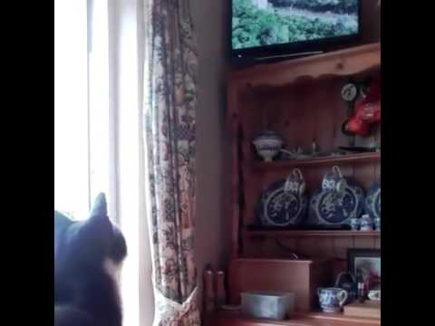 Cat watching lion documentary on television