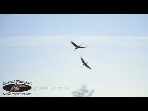 Sandhill Cranes hunting in Canada