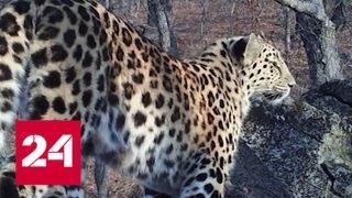 Популяцию краснокнижного леопарда в Приморье удалось спасти - Россия 24