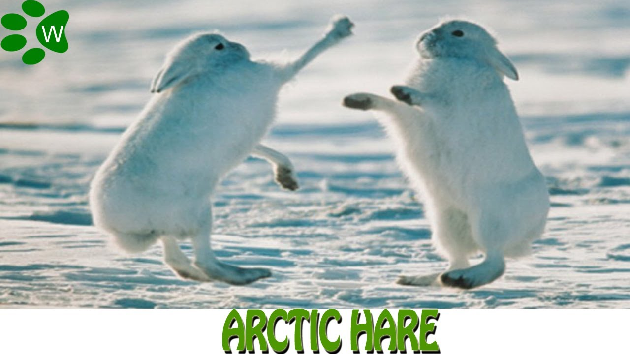 Hare, arctic